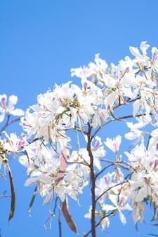 Flor branca, árvore, bauhinia, variegata, com, céu azul