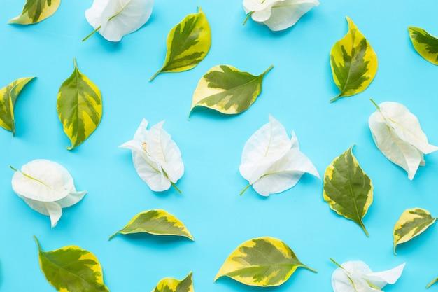 Flor branca bonita da buganvília com as folhas no fundo azul.