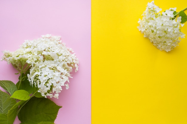 Flor branca da hortênsia no fundo amarelo e cor-de-rosa. conceito de verão ..