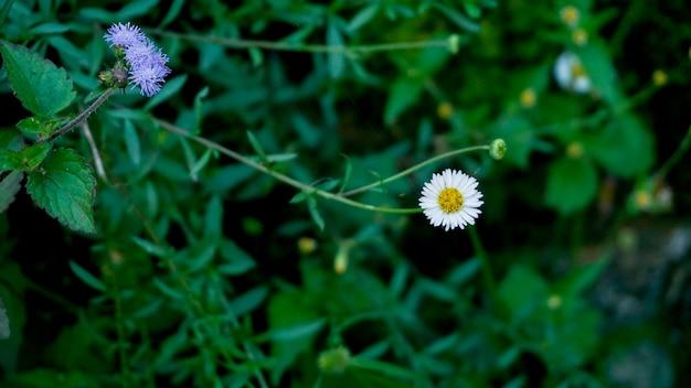 Flor branca da margarida nas montanhas ocidentais de ghats