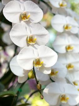 Flor branca da orquídea phalaenopsis