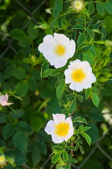 Flor branca da planta chamada moorish jagz black steppe ou black rockros cistusa