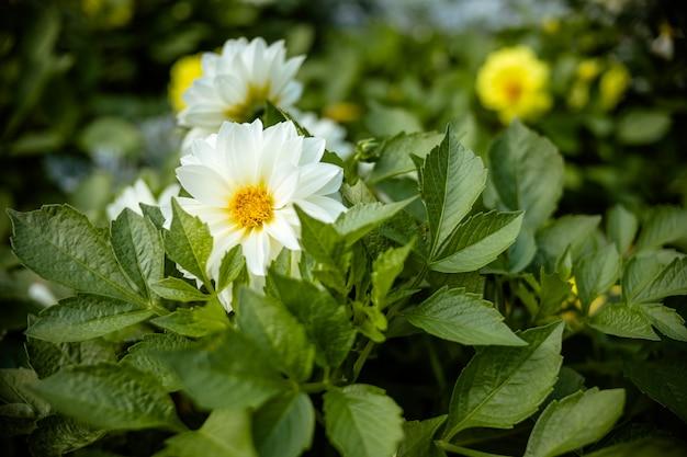 Flor branca de florescência da dália no jardim. dálias brancas de florescência bonitas. profundidade superficial de campo