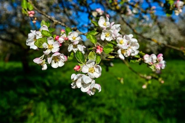 Flor branca de macieiras na primavera