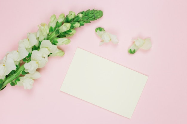Flor branca de snapdragons com cartão branco em branco contra um fundo rosa
