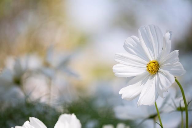 Flor branca do cosmos do close-up no campo.