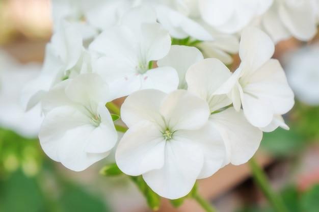 Flor branca do gerânio em um jardim.