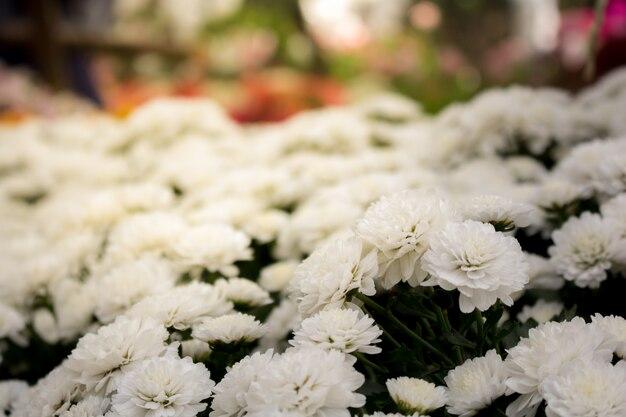Flor branca do outono do close-up no jardim. e a luz da manhã é uma linda flor