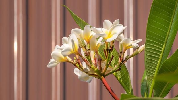 Flor branca e amarela plumeria