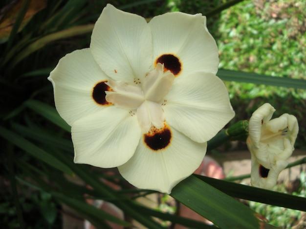 Flor branca e preta