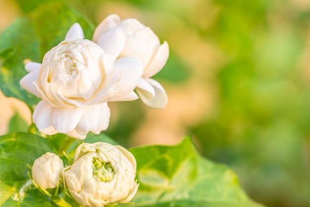 Flor branca, jasmim (jasminum sambac l.)