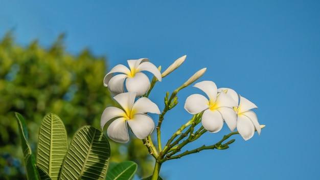 Flor branca plumeria