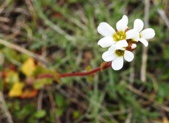 Flor branca selvagem