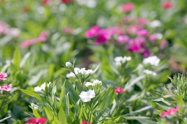Flor chinensis do cravo-da-índia branco.