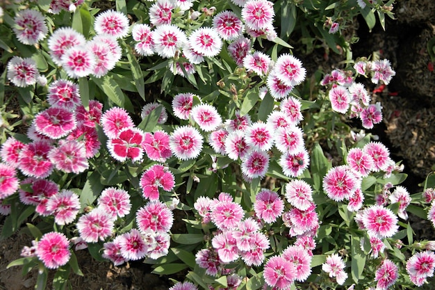 Flor chinensis do cravo-da-índia cor-de-rosa.