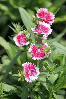 Flor chinensis do cravo-da-índia fúcsia.