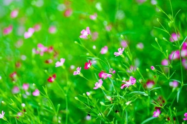 Flor colorida bonita do boutique do gypsophila cor-de-rosa no jardim