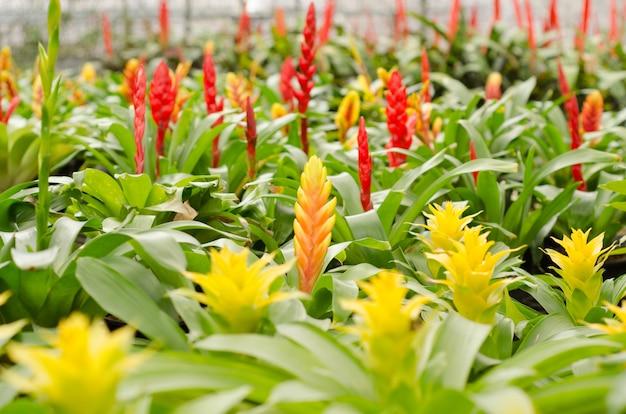 Flor colorida de bromélia