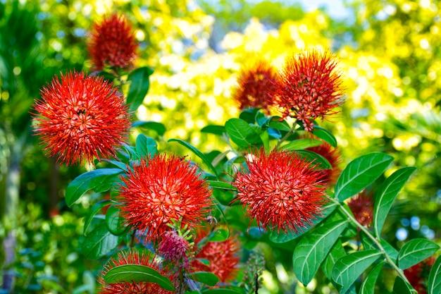 Flor combretum erythrophyllum