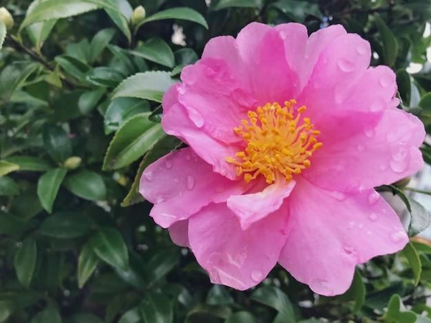 Flor cor-de-rosa de florescência da camélia após chover no parque.