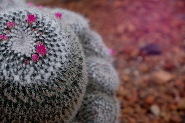 Flor cor-de-rosa de florescência do close-up bonito do cacto verde no deserto.