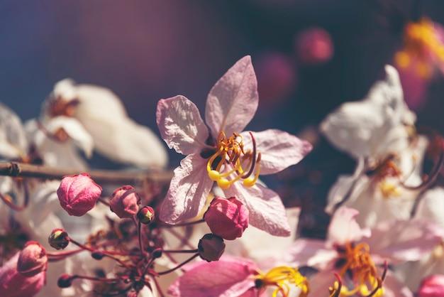 Flor cor-de-rosa do bakeriana da cássia com céu azul, flor cor-de-rosa