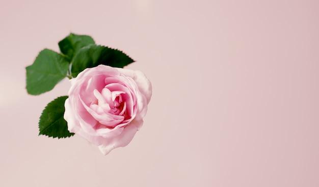 Flor cor-de-rosa do chá cor-de-rosa delicado contra o fundo do vanille. modelo de vista superior.