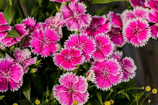 Flor cor-de-rosa do cravo-da-índia (cravo-da-índia chinensis) no jardim.