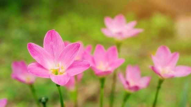 Flor cor-de-rosa do lírio de zephyranthes em um jardim.