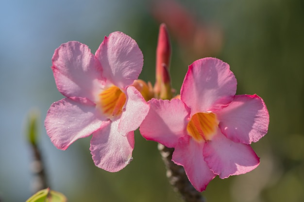 Flor cor-de-rosa e branca do obesum do adenium do foco seletivo em um jardim. os nomes comuns incluem azálea simulada, lírio da impala e rosa do deserto.