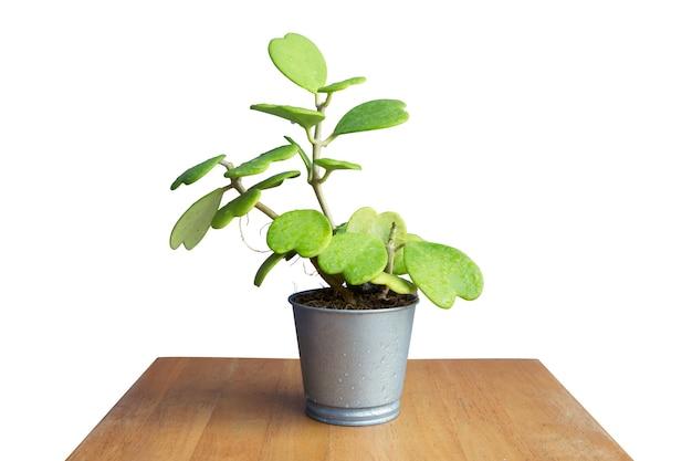 Flor cortada hoya kerrii craib, o processo de transplante de planta de casa em branco isolado.