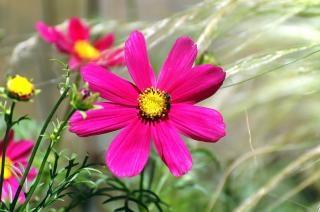 Flor cosmea