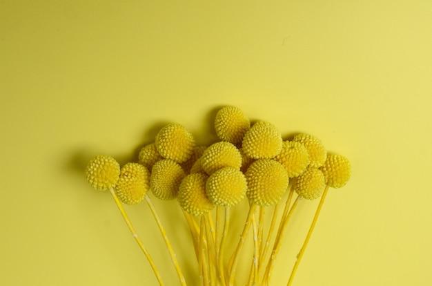 Flor craspedia em fundo amarelo