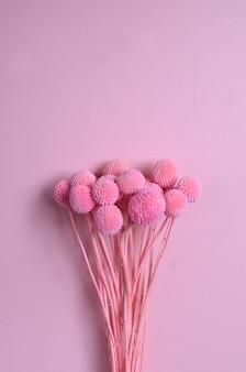 Flor craspedia em fundo rosa