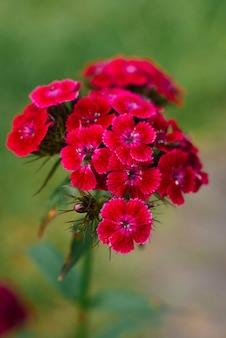 Flor cravo turco roxo na grama