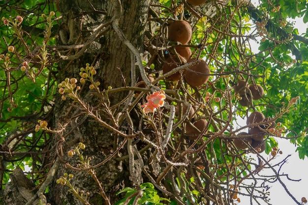 Flor da árvore de castanha do brasil. árvore de castanha do brasil florescendo na selva. animais selvagens.