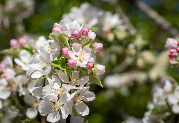 Flor da árvore de maçã que floresce no tempo de mola, fundo natural do vintage ensolarado floral