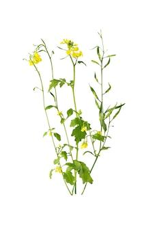 Flor da flor da mostarda, canola ou semente de colza oleaginosa com vagem isolada no fundo branco. óleo de colza. brassica napus.