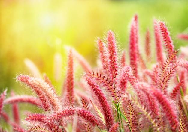 Flor da grama da missão ou por do sol do prado da grama do pedicellatum do pennisetum no jardim, gramineae poaceae