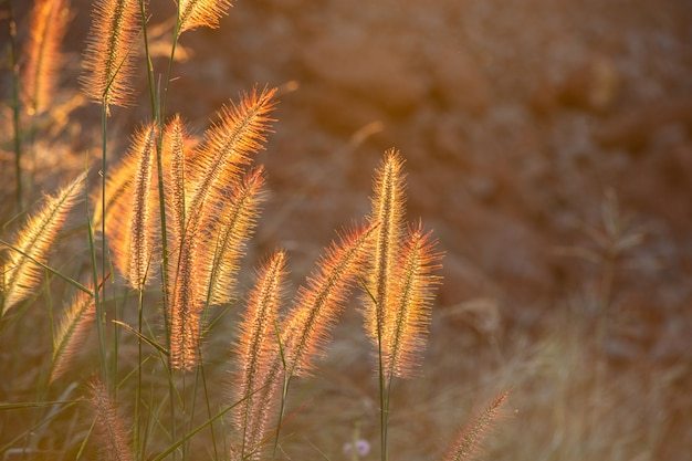 Flor da grama do poaceae nos raios do fundo do por do sol de aumentação.