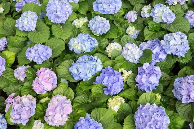 Flor da hortênsia da vista superior (macrophylla da hortênsia) em um jardim.