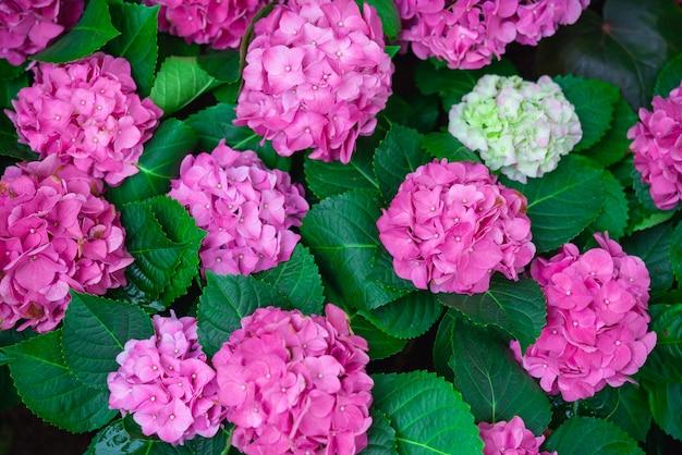 Flor da hortênsia ou do hortensia, florescendo na mola e no verão.