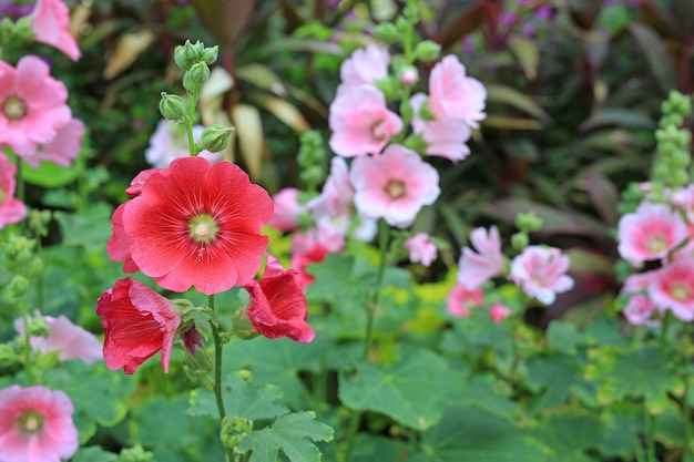 Flor da malva rosa em um jardim. close up de flor rosa vermelha de malva-rosa em fundo verde desfocado