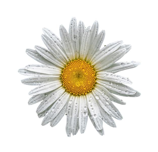 Flor da margarida branca após a chuva isolada no fundo branco.