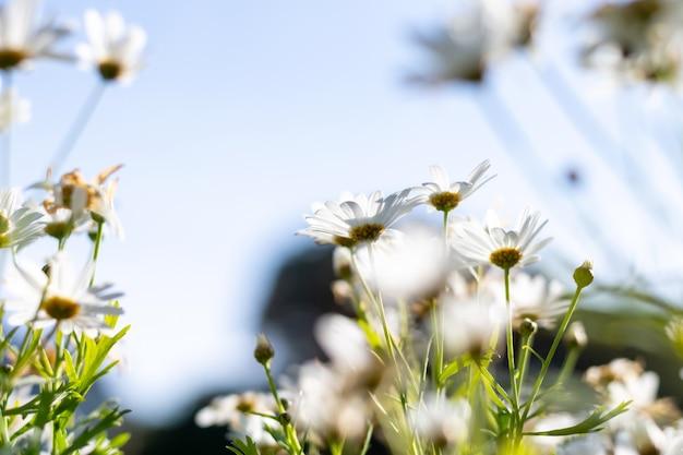 Flor da margarida branca com sol no jardim.