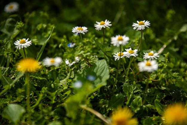 Flor da margarida cercada por grama verde na primavera