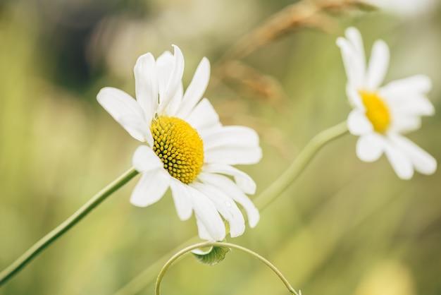 Flor da margarida do prado em dia ensolarado na turva.