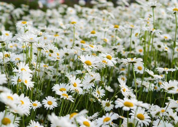 Flor da margarida no prado verde 2