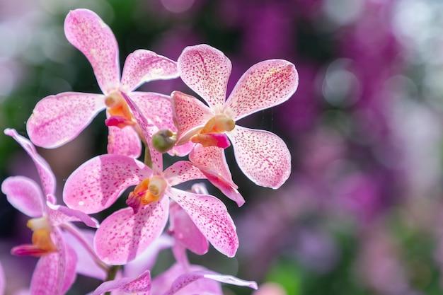 Flor da orquídea no jardim da orquídea no dia do inverno ou de mola. orquídea mokara.