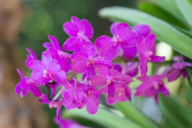 Flor da orquídea no jardim da orquídea no dia do inverno ou de mola. orquídea vanda.